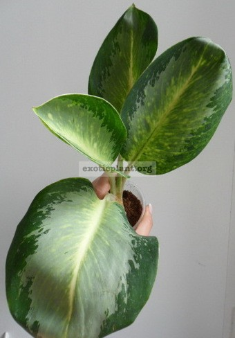Aglaonema Elephant Ears 44