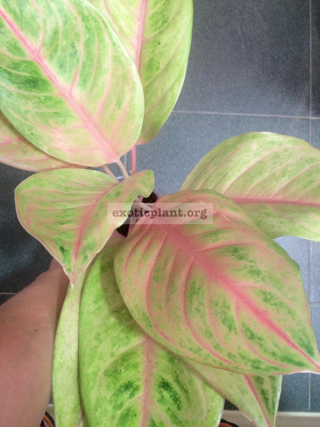 aglaonema Golden Siam 35