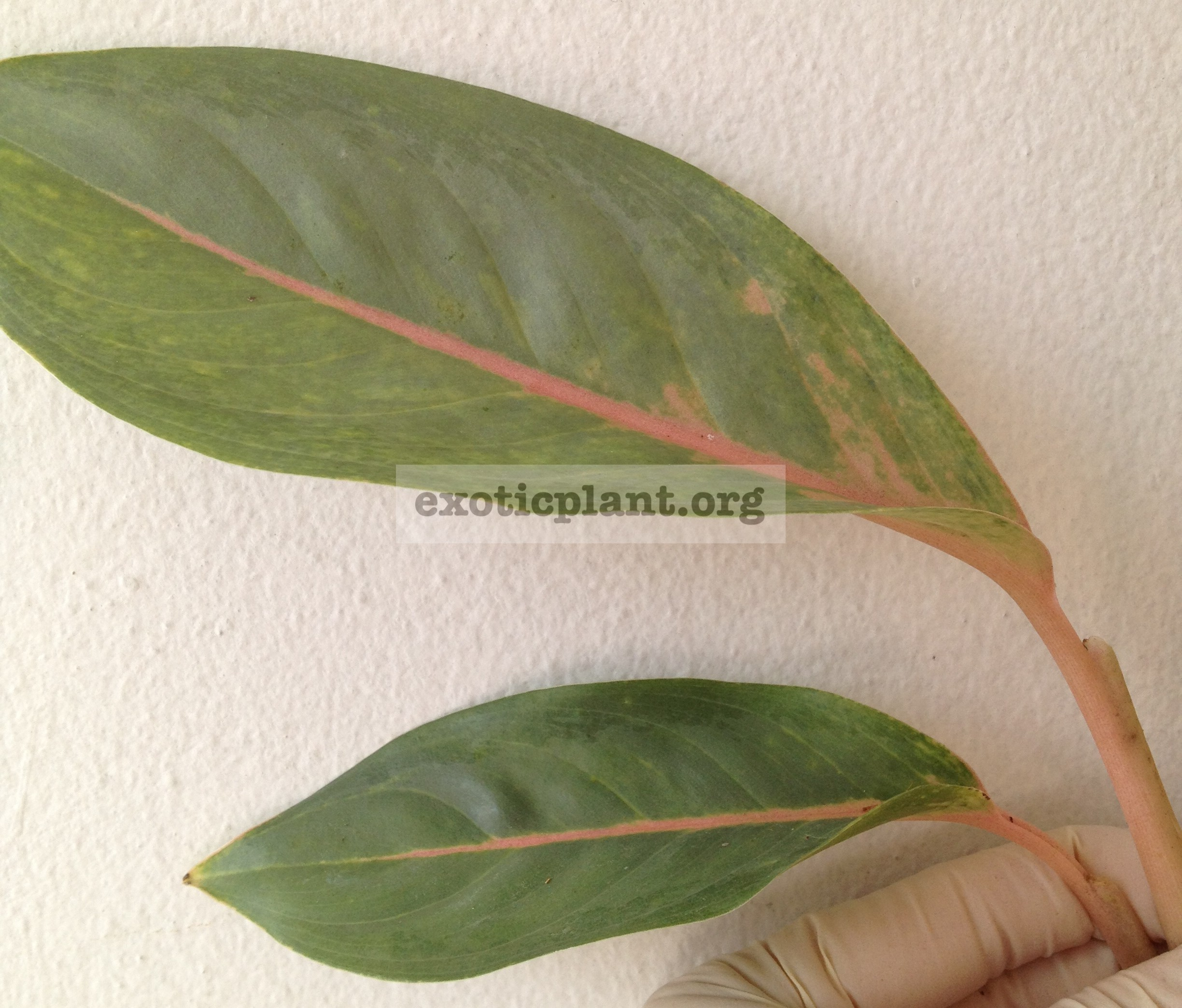 aglaonema Pale 14