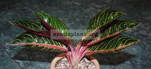 Aglaonema Red Sumatra 20
