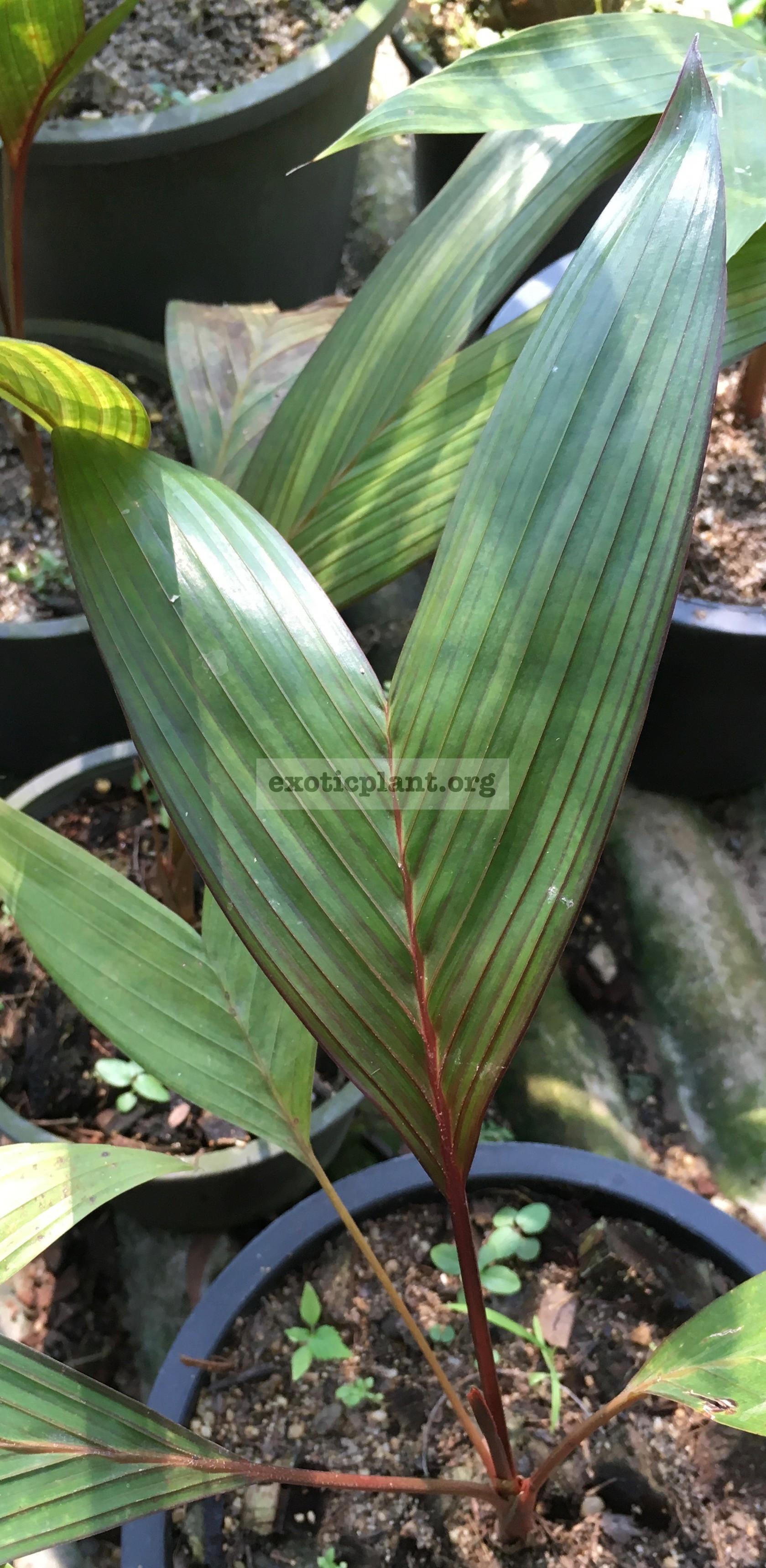 areca vestiaria red leaf 40