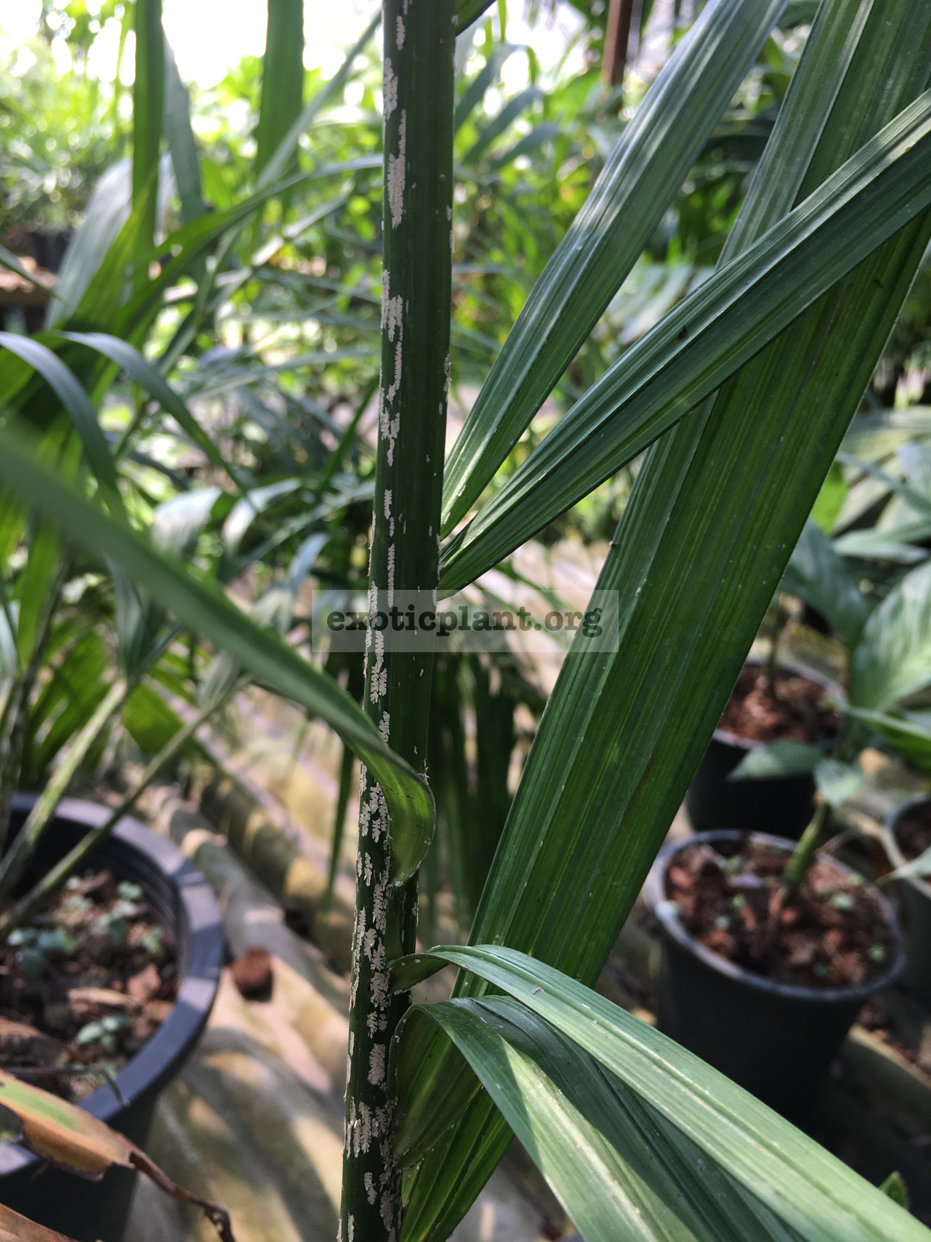 dypsis sp mealy bugs 100