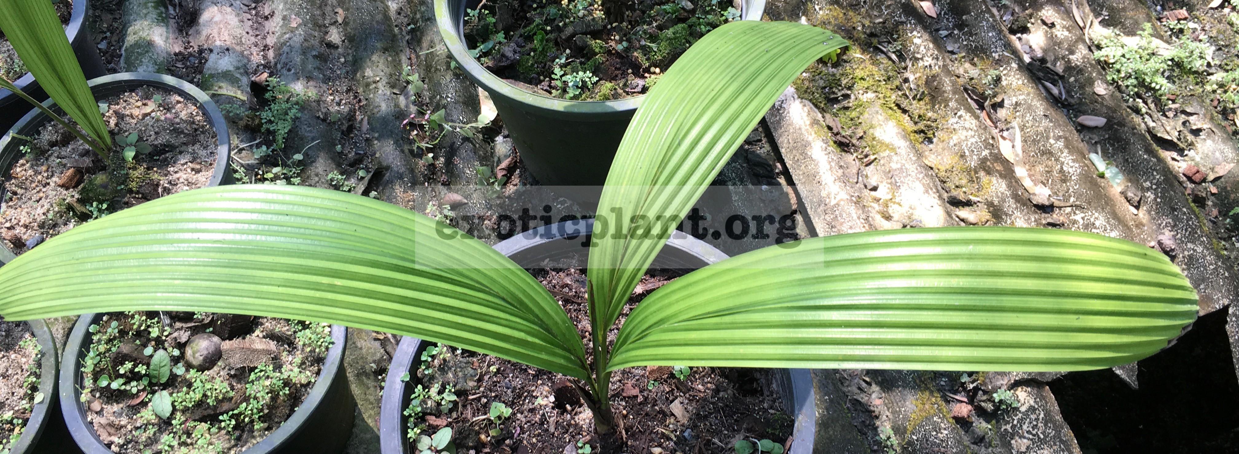 johannestiejmannia lanceolata 45