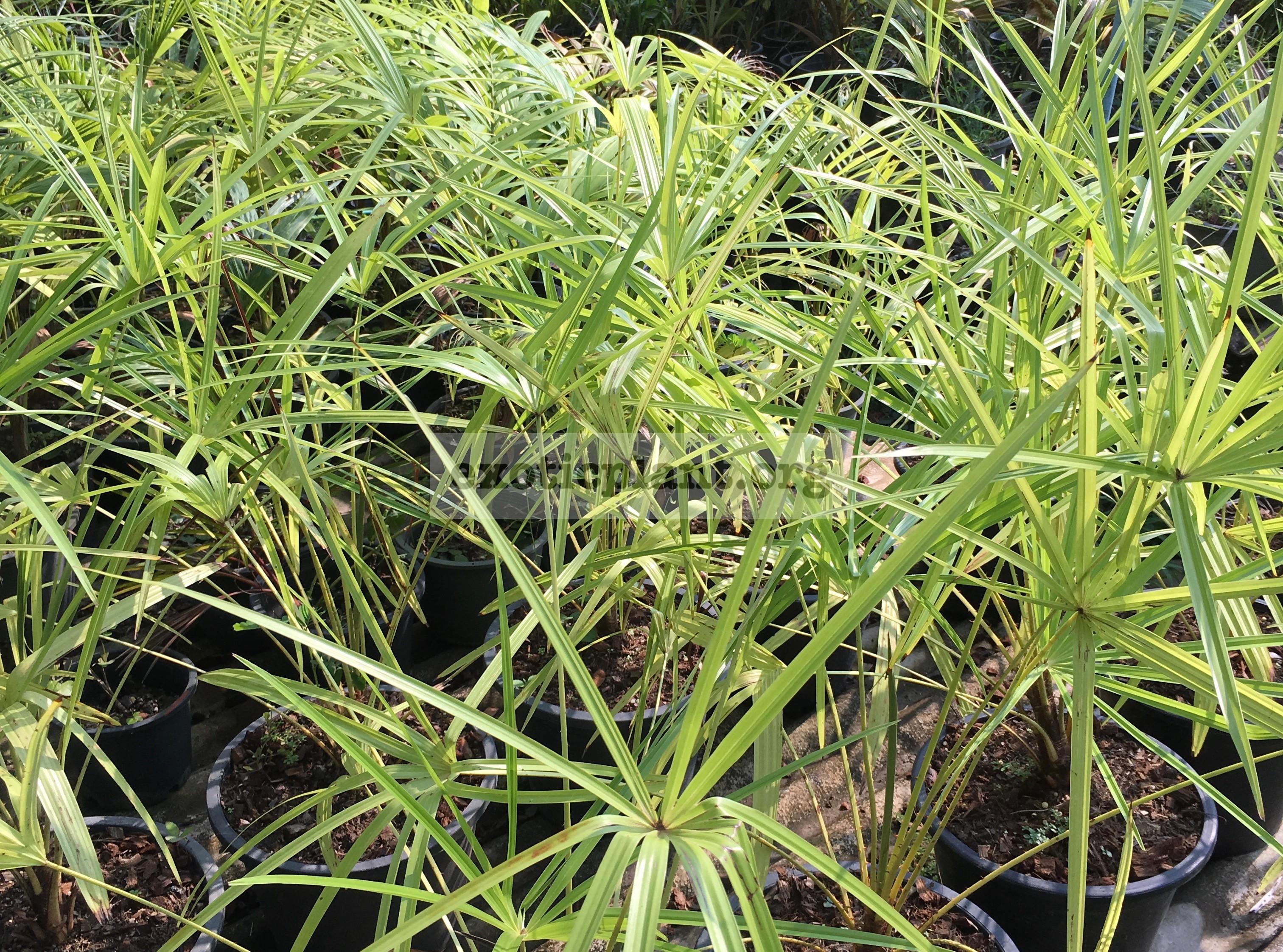 livistona benthamii golden form 65