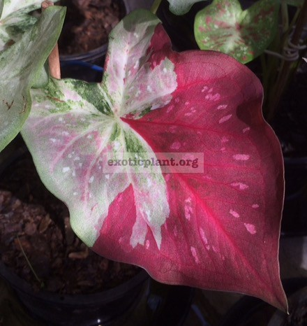 Caladium Absorn Sawan(white leaf with red splash) 20