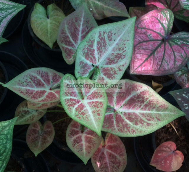 Caladium Sri Lampoon 20