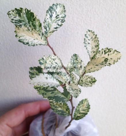 Chinese elm cv Marmorata 60