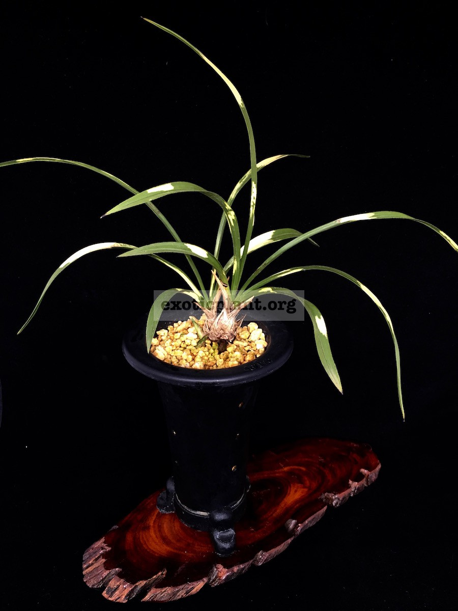 Cymbidium goeringii Wanami no hana 輪波の花