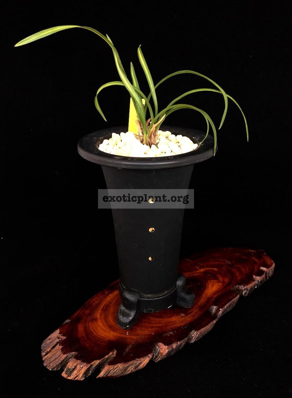 Cymbidium goeringii 'Yorii-nishiki' 寄居錦