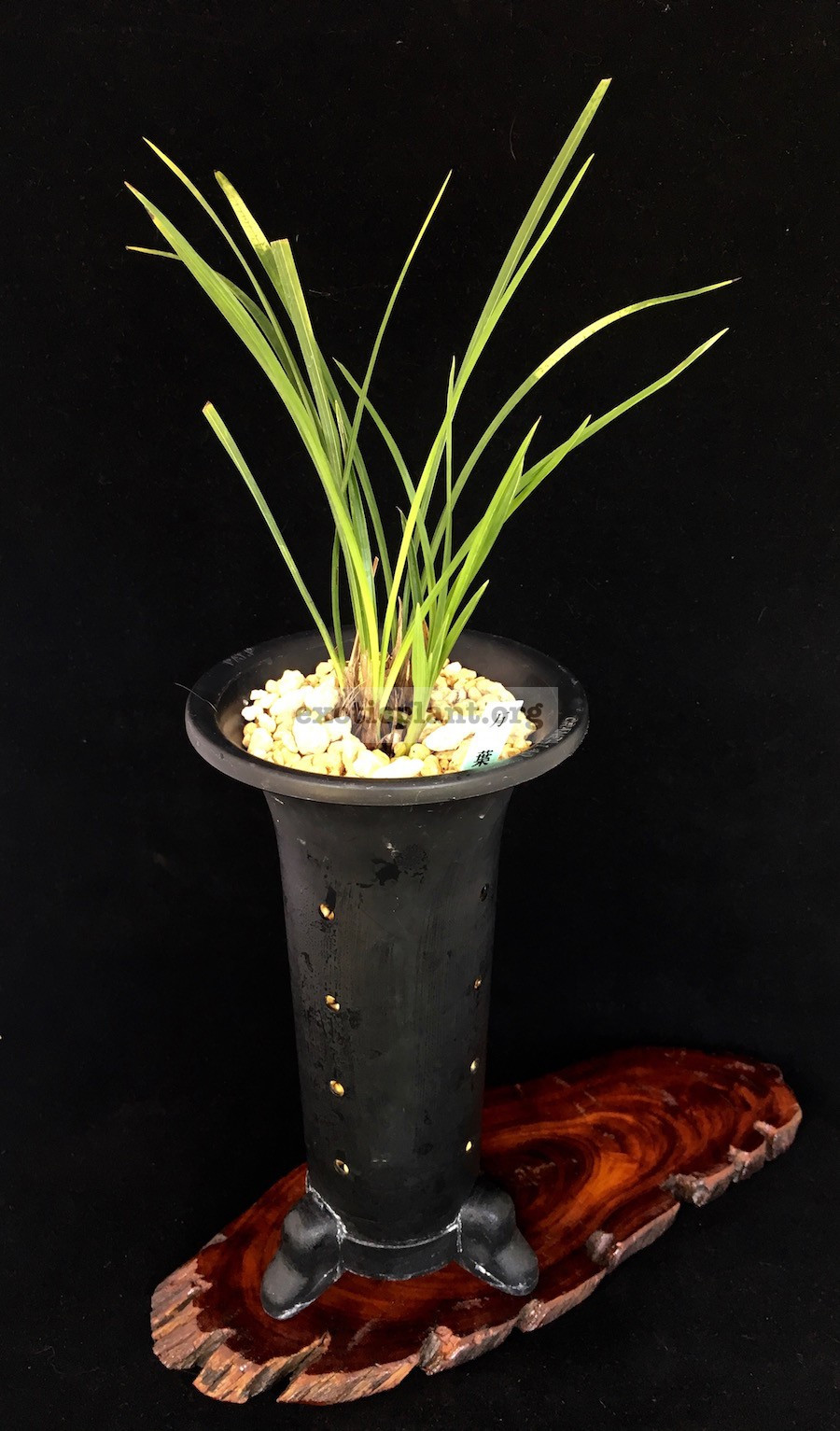 Cymbidium goeringii 'Yume-hikyaku' 夢飛脚 leaves has Dappi variegation(tiger type)