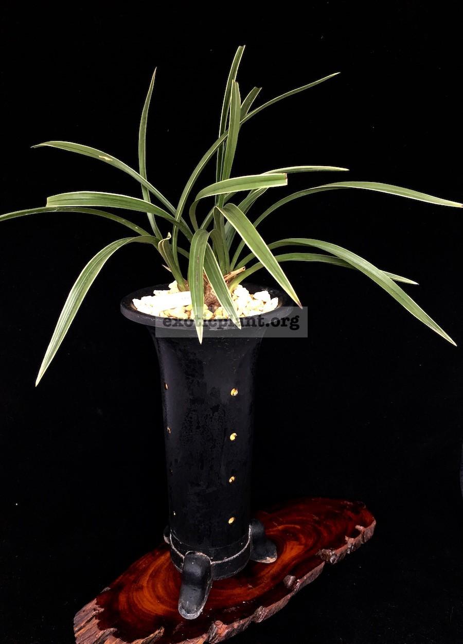 Cymbidium goeringii albomarginated