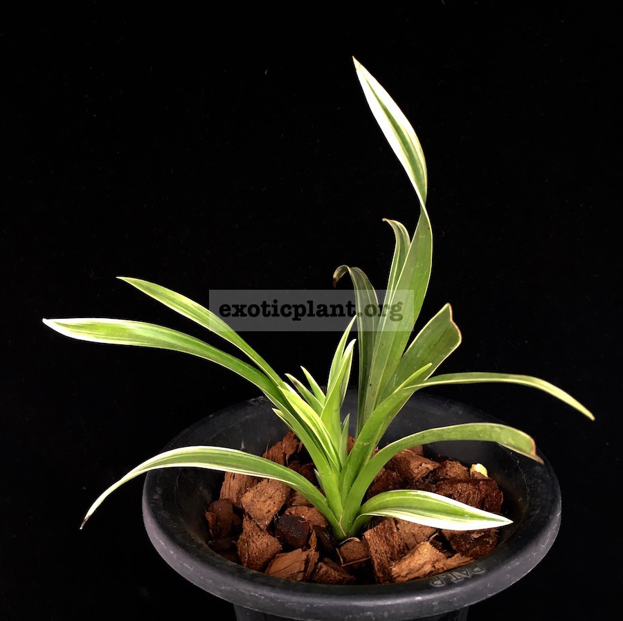 Cymbidium goeringii white edge