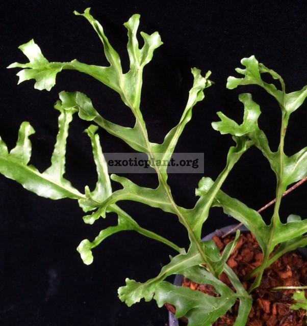 Drynaria bonii  Crested  35