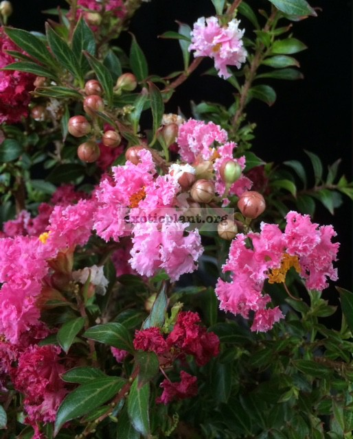 Lagerstroemia indica Bicolor (pink and white flower) Dwarf 65