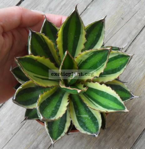 Agave lophantha quadricolor 30   к продаже предлагается растение меньше размером