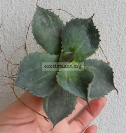 agave potatorum stripe 25