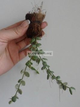 Dischidia nummulariodes variegata 'Pebble Beach' 13