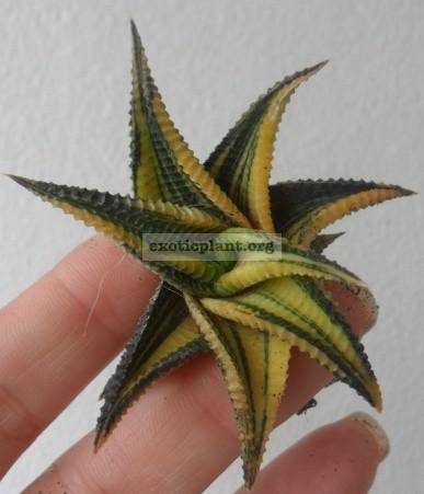 haworthia limifolia variegated 15