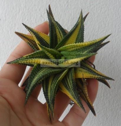 haworthia limifolia variegated 25