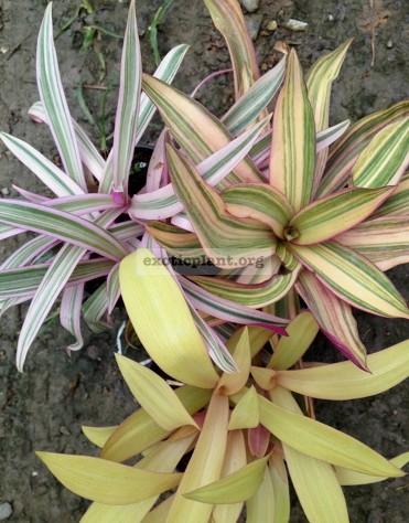 Tradescantia spathacea variegata сv Vittata 10-20 =rheo white-pink-green (бело-розово-зеленая) 10-20- слева вверху