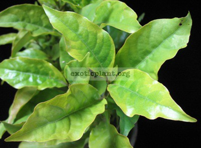 Codiaeum Jamaican Tricolor (Gold) 12