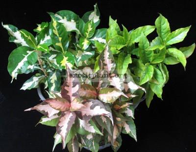 Codiaeum Jamaican Tricolor = Graptophyllum pictum 12
