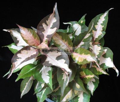 Codiaeum Jamaica Tricolor (Rubra) 12