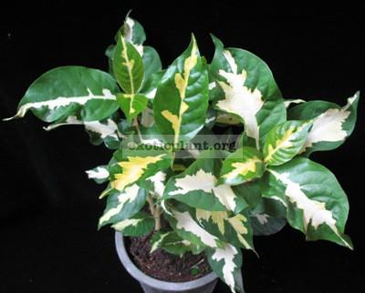 Codiaeum Jamaica Tricolor (white green) 12