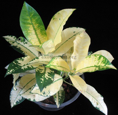 Codiaeum Mrs. Iceton (yellow) 20