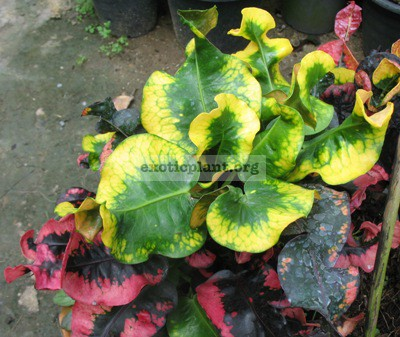 Codiaeum Sri Mahosod (MD) 23