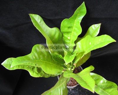Сodiaeum (Т29) 20 -зеленые молодые и черные взрослые листья