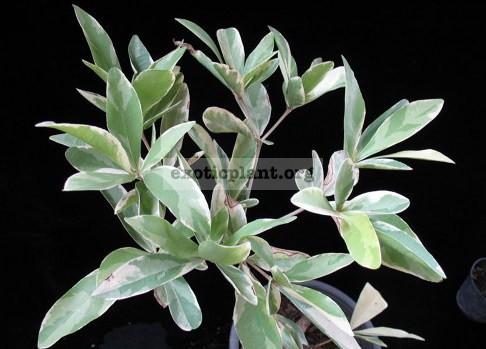 Codiaeum stellatopilosus variegated 30