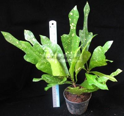 Codiaeum Maculatum Katoni 20