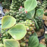 monadenium-ritchiei-variegated-30