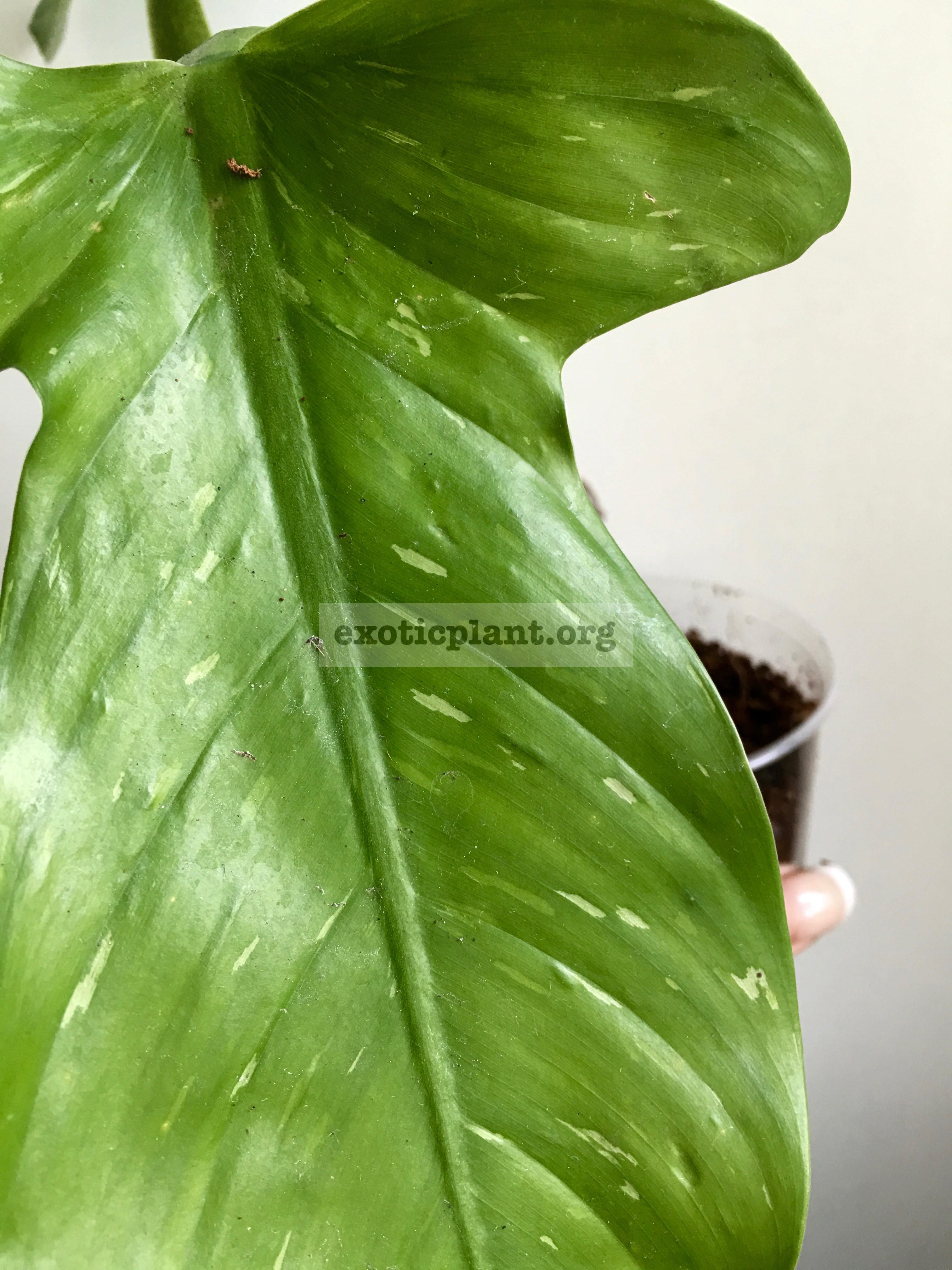 Philodendron applanatum variegated / филодендрон аппланатум вариегатный  65
