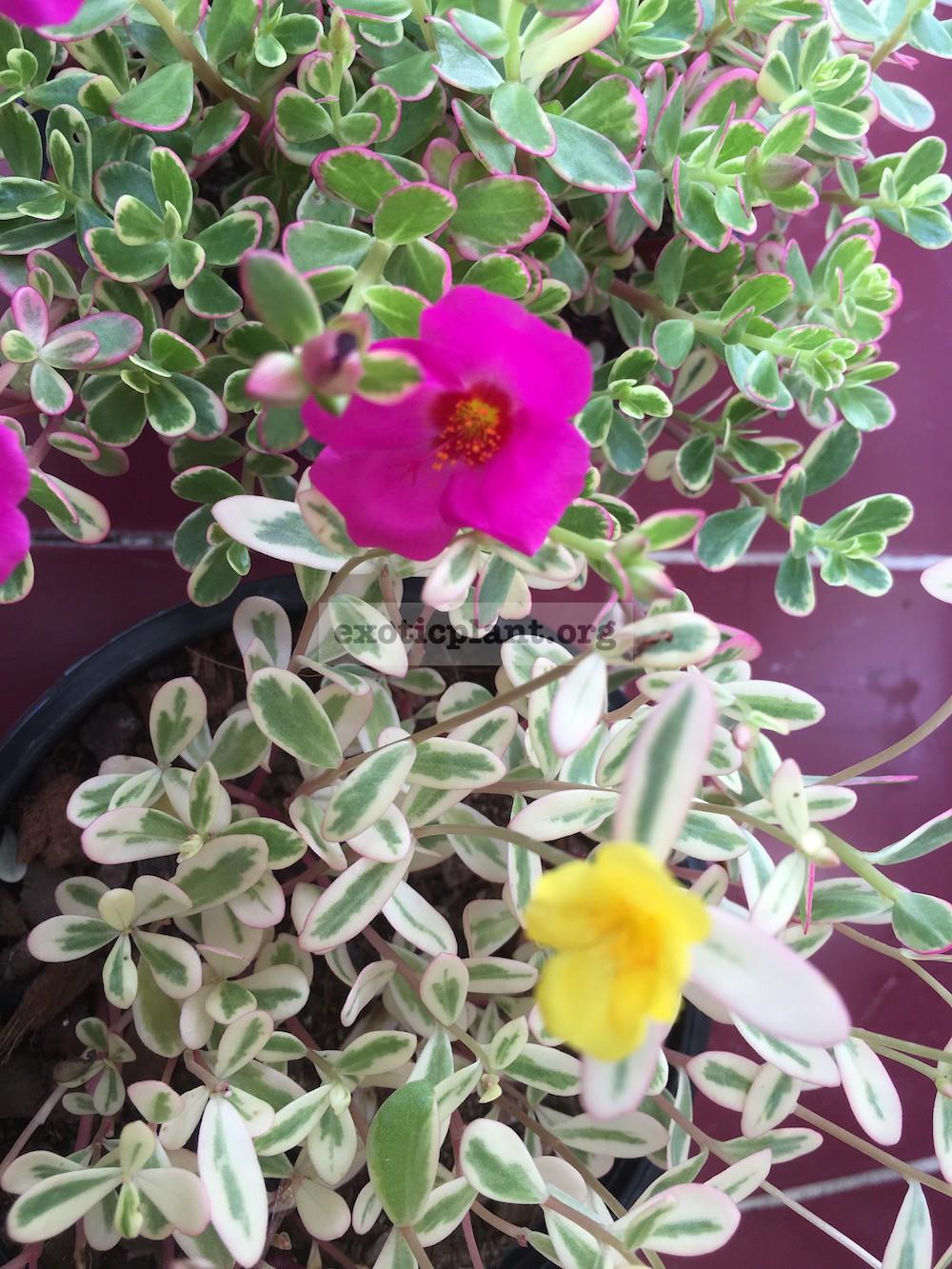 Portulaca oleracea variegated (yellow flower) 20
