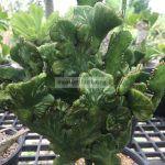 euphorbia-tirukalli-cristated-variegated-25