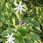 Jasminum-multiflorum-white-margin-leaf