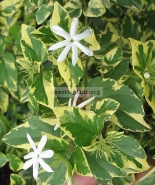 Jasminum multiflorum (white margin leaf) 30