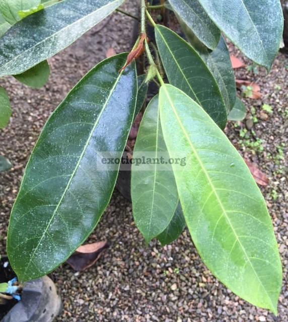 Artocarpus champeden 35