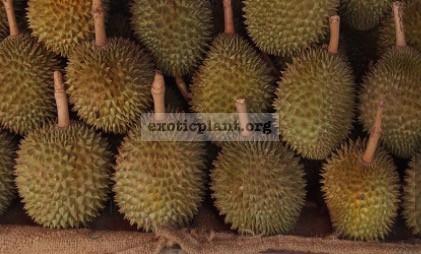 Durio zibethinus 'Puang Manee' grafted 35 натуральный гибрид,Chanthaburi, eastern Thailand. Прекрасный вкус, очень сладкий в высушенном виде.