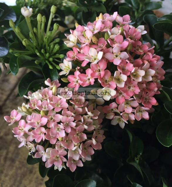 Ixora sp.(T38) Bicolor flower (pink and white)(wavy leaf) 25   в первый день роспуска цветы белые и розовые, со второго дня розовые