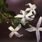 jasminum-azoricum