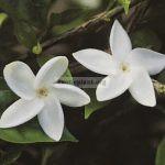 jasminum-bifarium-j-auriculata-20