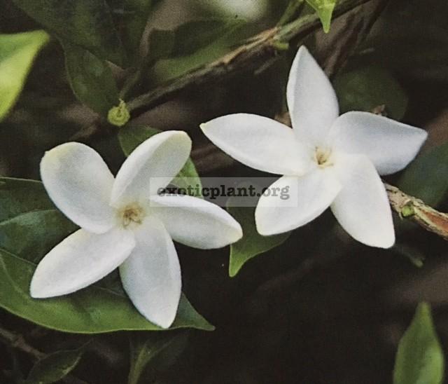 Jasminum bifarium (J. auriculata)= Psilanthus bengalensis 20