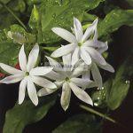 jasminum-mali-guangzhou