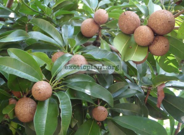Manilkara zapota (round fruit) 30