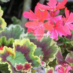 pelargonium-plant