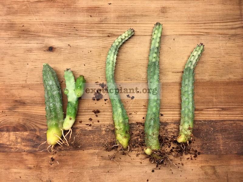 huernia sp white top 15-25