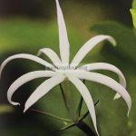 jasminum-adenophyllum